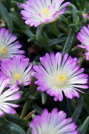 Delosperma Wheels of Wonder™ 'Violet Wonder'
