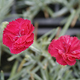 Dianthus 'Frosty Fire' Plants