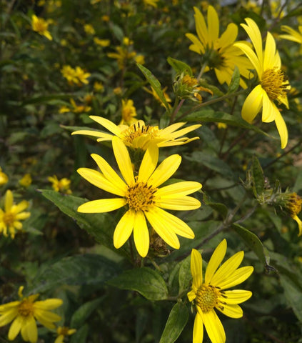 Helianthus 'Lemon Queen' Plants