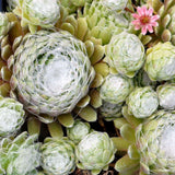 Hens and Chicks 'Cobweb Buttons' (Sempervivum arachnoideum)