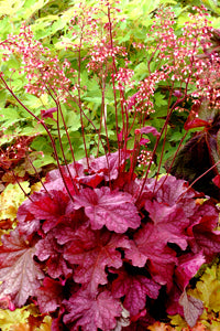 Heuchera 'Berry Smoothie' Plants