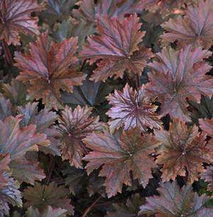 Heuchera 'Bronze Wave'