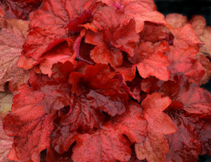 Heuchera 'Fire Alarm' Plants