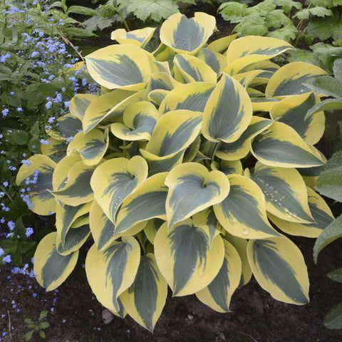 Hosta 'Autumn Frost' PP23224 - Premium 1 Gallon Container