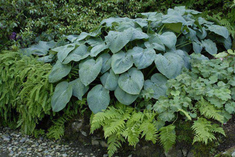 Hosta 'Blue Angel' Plant - Streambank Gardens