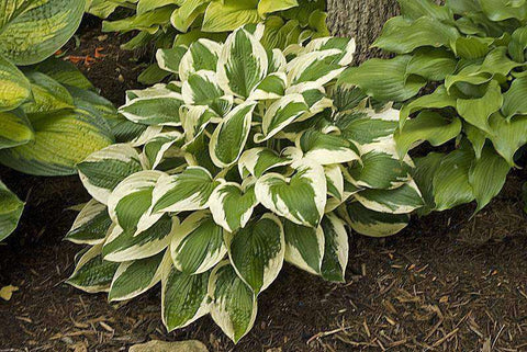 Hosta 'Patriot' Plant - Streambank Gardens