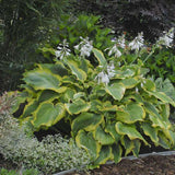 Hosta 'Seducer' - Premium 1 Gallon Container