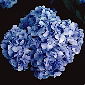 Hydrangea 'All Summer Beauty' - 1 Plant