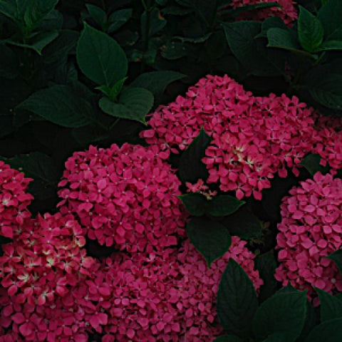 Hydrangea 'Glowing Embers' Plants