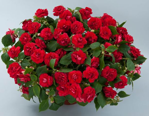 Impatiens 'Musica Series™ Elegant Red' - 6 Plants
