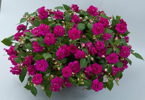 Impatiens 'Musica Series™ Fine Purple' - 6 Plants
