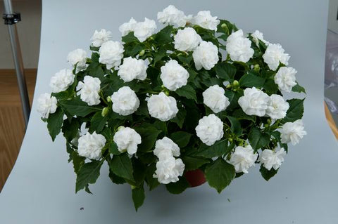 Impatiens 'Musica Series­™ Pure White' Plants