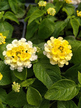 Lantana 'Golden Zinger' Plants