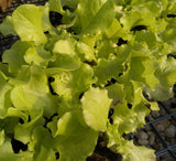 Lettuce 'Black Seeded Simpson' Plants