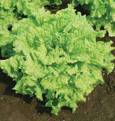 Lettuce 'Black Seeded Simpson' - 6 Plants - Streambank Gardens  - 1