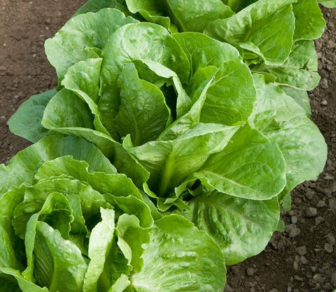 Lettuce 'Coastal Star' Plants