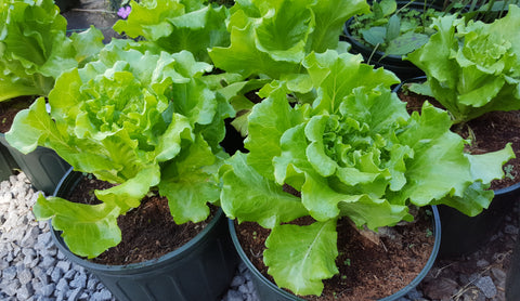 Lettuce 'Nevada' Plants