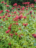 Monarda 'Jacob Cline' Plants