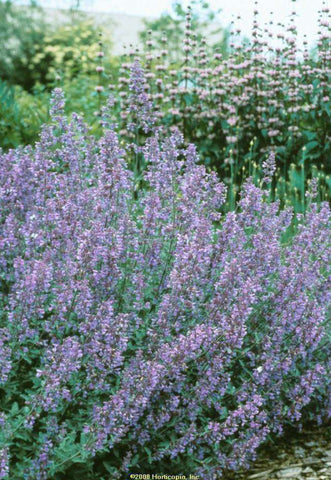 Nepeta x faassenii 'Walker's Low' - Streambank Gardens