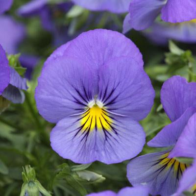 Pansy Cool Wave™ 'Blue Skies'
