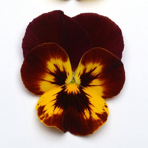 Pansy Cool Wave™ 'Fire'