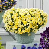 Pansy Cool Wave™ 'Lemon' Plants