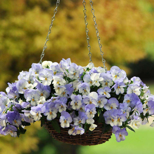 Fall Planting In Vegetable Garden: Pansy Cool Wave™ 'Frost' Plants