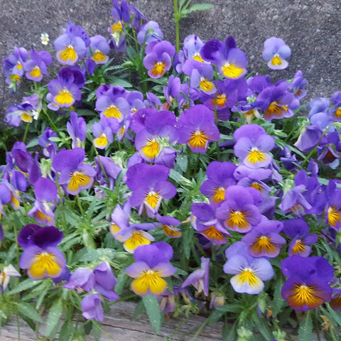 "Pansy Cool Wave™ 'Morpho' - 3.5"" Potted Plant"