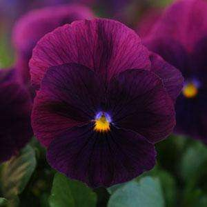 Pansy Cool Wave™ 'Purple' Plants