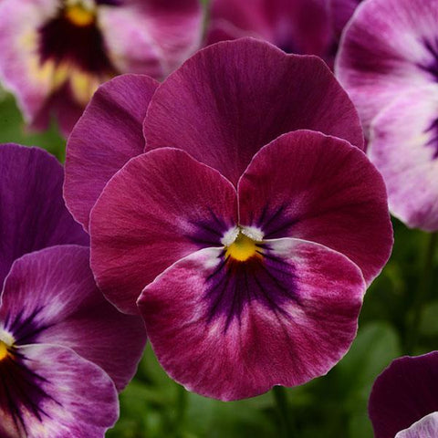 Pansy Cool Wave™ 'Raspberry' - 1 Plant