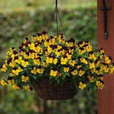 Pansy Cool Wave™ 'Sunshine and Wine' Plants