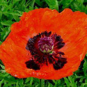Papaver orientale 'Prince of Orange' Plant - Streambank Gardens