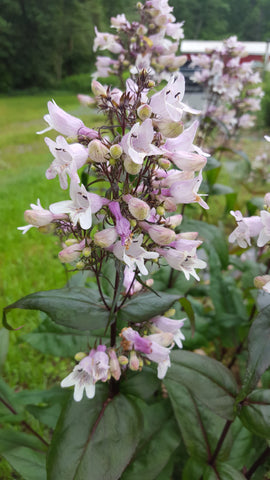 Penstemon 'Mystica' Plants