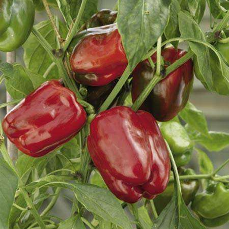 Pepper 'California Wonder' - 6 Plants - Streambank Gardens