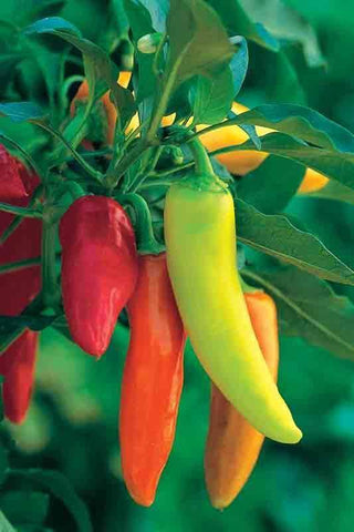 Pepper 'Hungarian Hot Wax' - 6 Plants - Streambank Gardens
