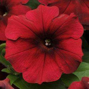 Petunia Easy Wave® Red Velour Spreading Petunia - Streambank Gardens  - 2