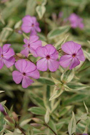 Phlox 'Triple Play' Plant - Streambank Gardens  - 1