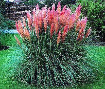 cortaderia selloana 39 pink pampas grass 39 plant streambank. Black Bedroom Furniture Sets. Home Design Ideas