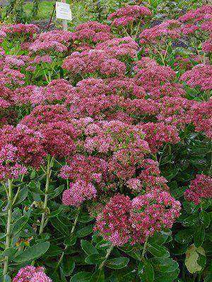 Sedum 'Autumn Fire' Plant - Streambank Gardens