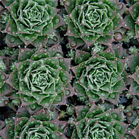 Sempervivum 'Moss Rose', Hens & Chicks Plants