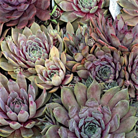 Sempervivum 'Purple Beauty', Hens & Chicks Plants