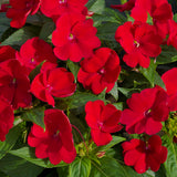 SunPatiens® 'Compact Fire Red' Plants