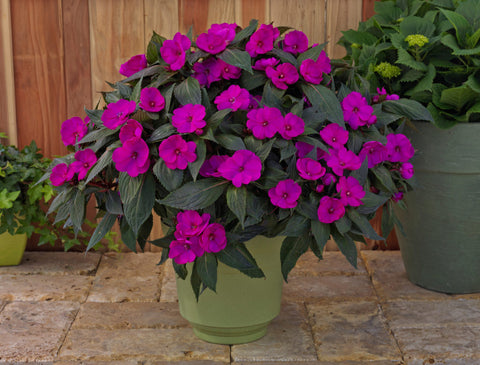 SunPatiens® 'Compact Purple' Plants