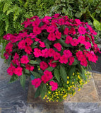 "SunPatiens® 'Compact Royal Magenta' - 3.5"" Potted Plant"
