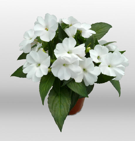 SunPatiens® 'Compact White Improved' Plants