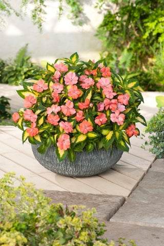 SunPatiens® 'Vigorous Tropical Salmon' Plants