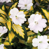 SunPatiens® 'Vigorous Tropical White' Plants