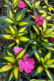 "SunPatiens® 'Compact Tropical Rose' - 3.5"" Potted Plant"
