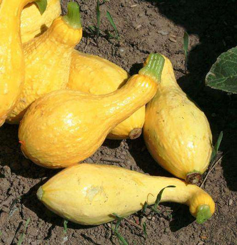 Squash 'Yellow Crookneck - 6 Plants - Streambank Gardens