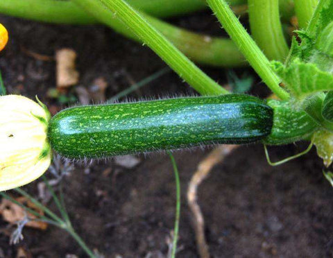 Zucchini 'Dark Green' - 6 Plants - Streambank Gardens